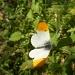 Orange tip butterfly. by snowy