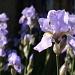Iris by judithg