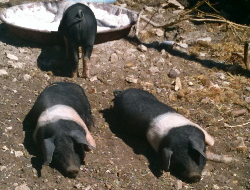Three Little Pigs by helenmoss