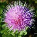 Milk Thistle by grannysue