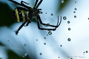 6th May 2011 - St Andrews Cross Spider