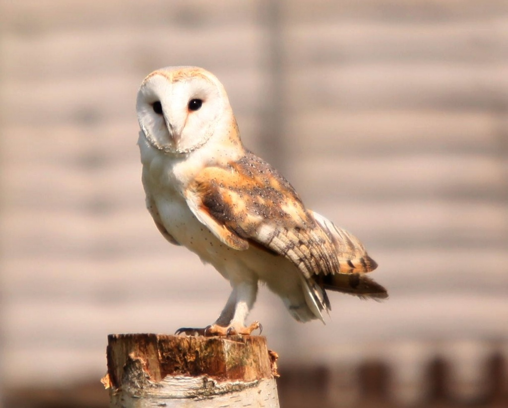 Barn Owl by netkonnexion
