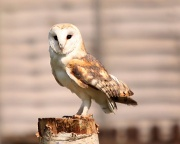 7th May 2011 - Barn Owl