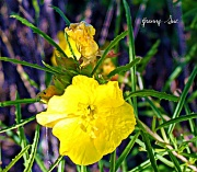 6th May 2011 - Yellow Primrose