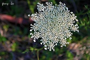 7th May 2011 - Queen Anne's Lace or Wild Carrot