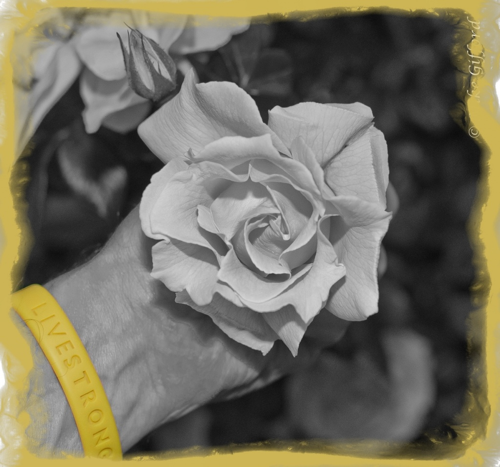 May7-3c Livestrong Rose by mikegifford