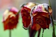 2nd Apr 2010 - Three Dead Roses