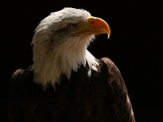 9th May 2011 - Bald Eagle Portrait