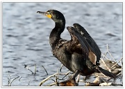 8th May 2011 - Double-crested Cormorant