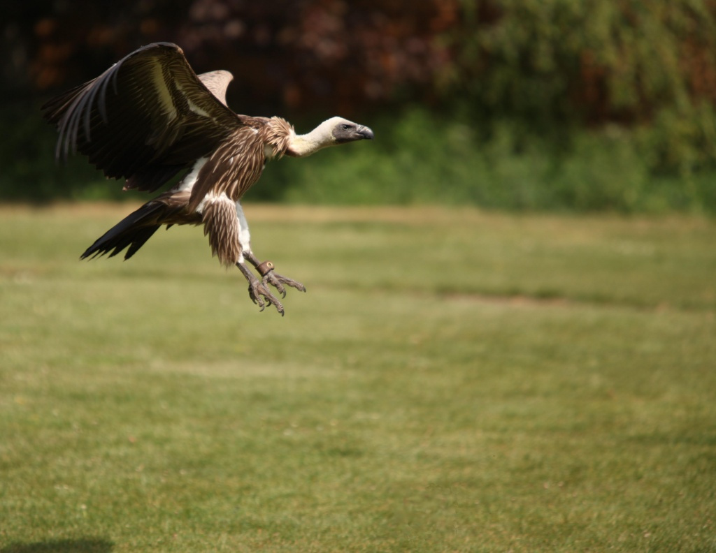 Vulture Swooping by netkonnexion