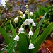 Lily of the Valley by lauriehiggins