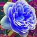 Our first BLUE rose of the season by phil_howcroft