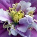 First Clematis of the Summer by phil_howcroft