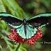 Queen Alexandra's Birdwing by twofunlabs