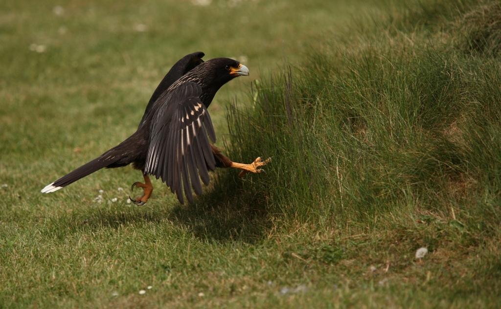 Meet 'Major Lewis'...  (Caracara bird) by netkonnexion