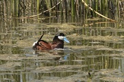 13th May 2011 - Daffy Duck
