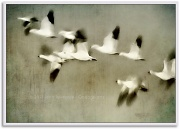 13th May 2011 - Snow Geese