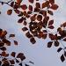 Copper Beech Leaves by snowy