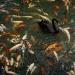 Swan Dive by latza