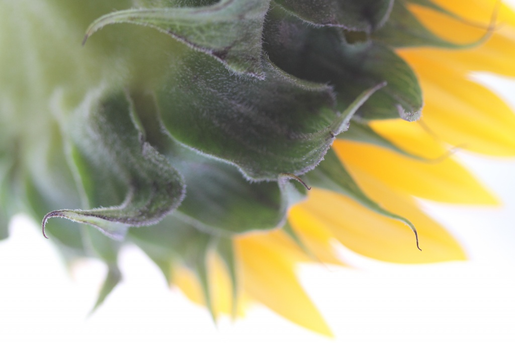 Sunflower by orangecrush