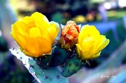 16th May 2011 - Cactus Flowers