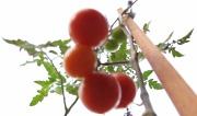 17th May 2011 - Abstract tomatoes