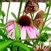 Butterflies by vernabeth