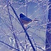 spotted towhee by mjalkotzy