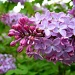Neighbor's Lilac by lauriehiggins