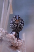 19th May 2011 - female red-winged blackbird