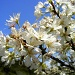 Blue Sky and Beach Plum Blossoms! by lauriehiggins
