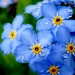 Forget Me Not by denisedaly