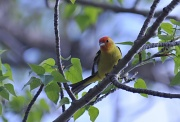 20th May 2011 - western tanager
