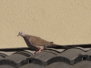 21st May 2011 - Pretty pigeon