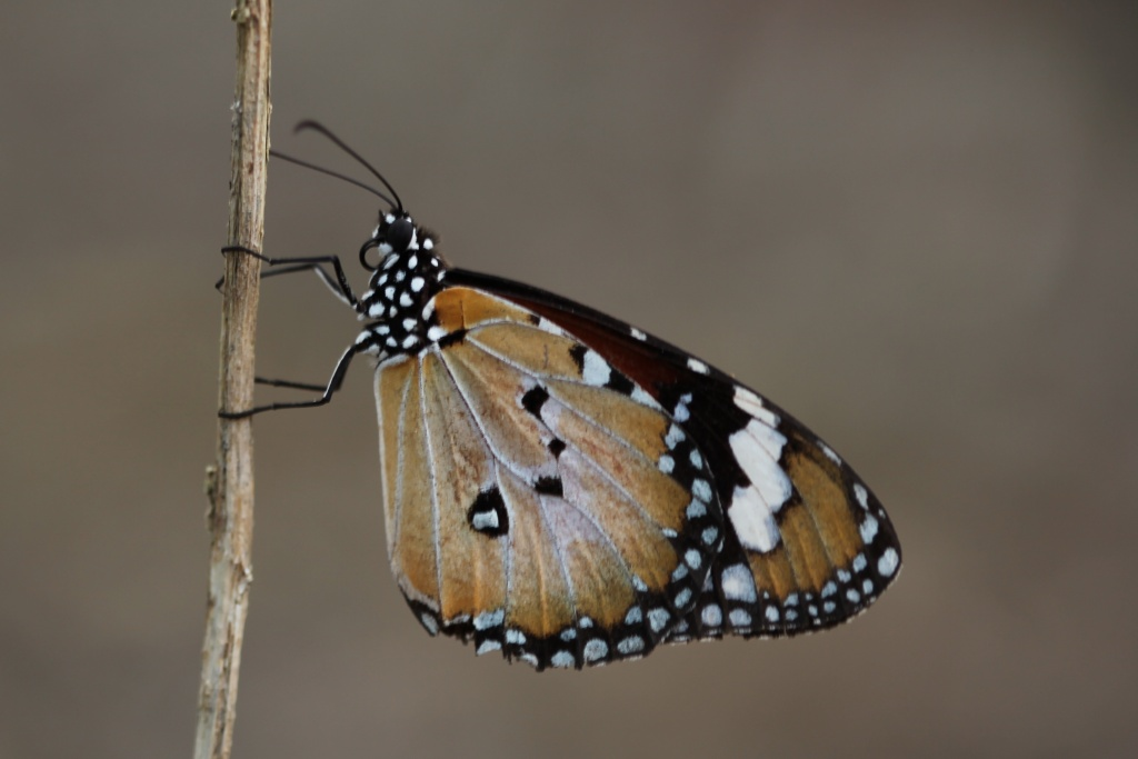 Danaid Eggfly Butterfly by lbmcshutter