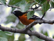 22nd May 2011 - Baltimore oriole