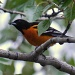 Baltimore oriole by mjalkotzy