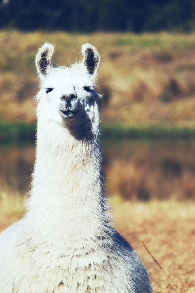 hello, llama by pocketmouse