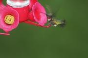 14th May 2011 - Hungry hummingbird