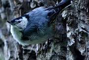 26th May 2011 - white-breasted nuthatch
