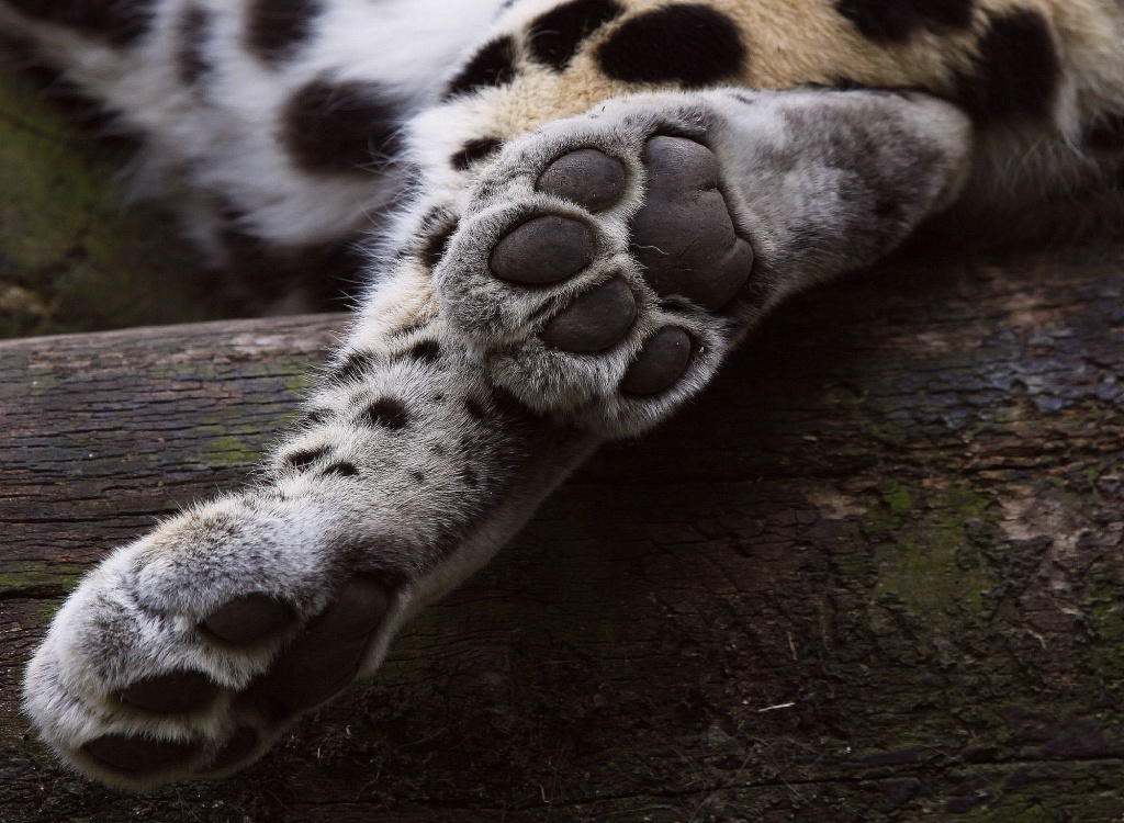 Big Cats Paw by netkonnexion