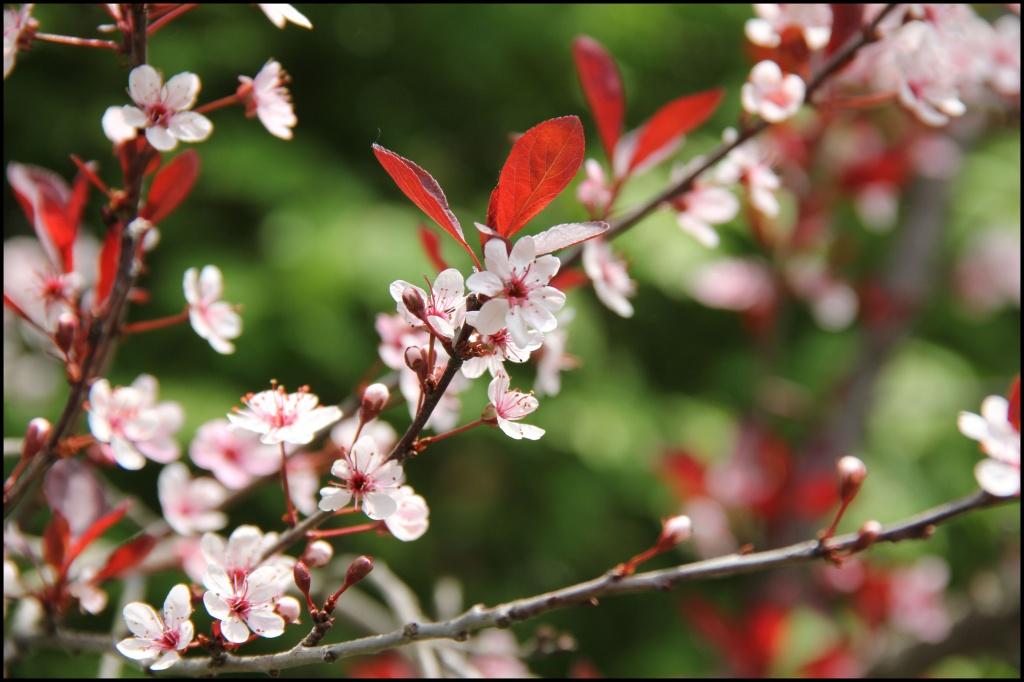 Spring Blossoms in VT by hjbenson