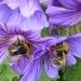 Double bee by dulciknit