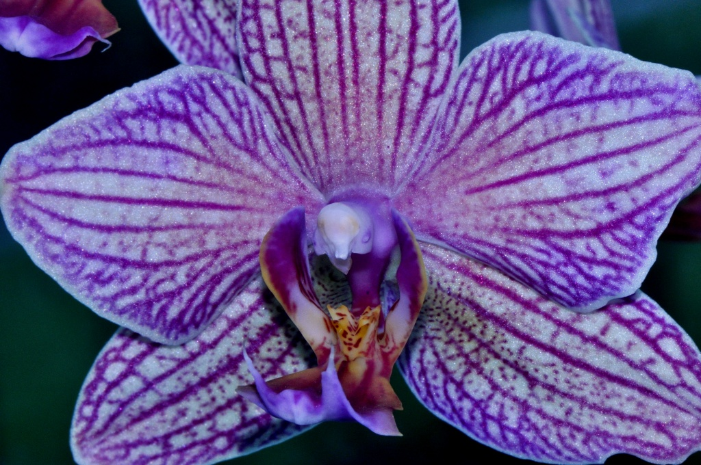 Susanna's orchid by mjalkotzy
