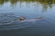 21st May 2011 - Dolphin at Caladesi Island