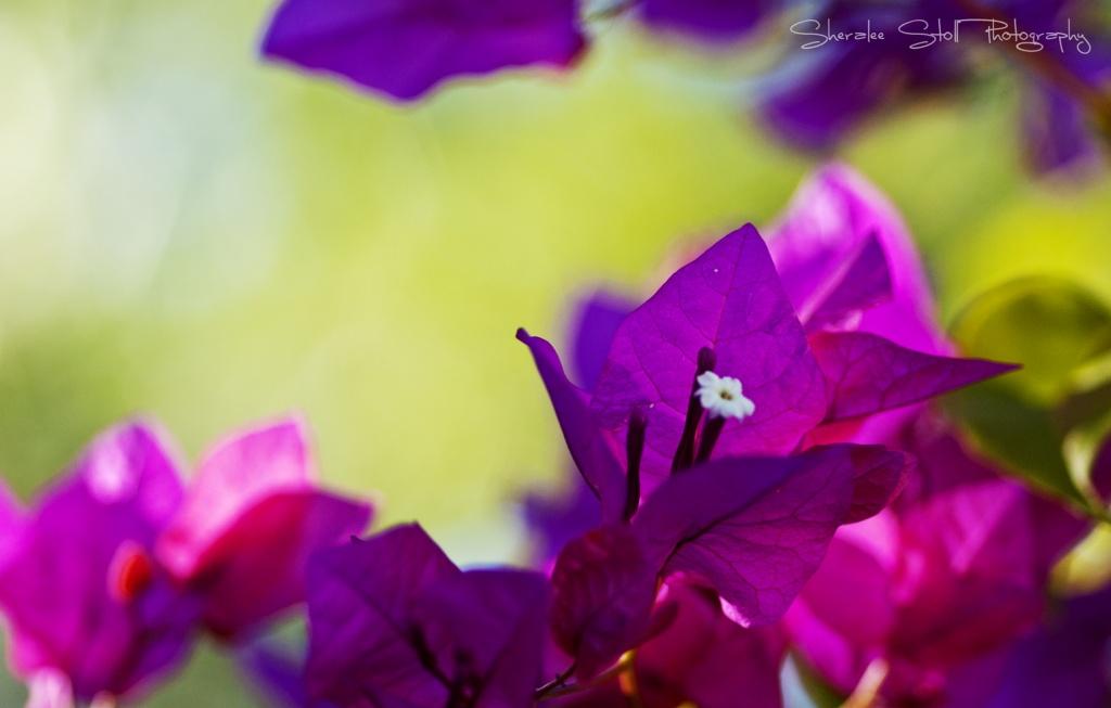Bougainvillea by bella_ss