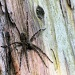 A very large foo foo spider.  by maggie2