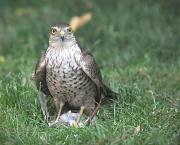 31st May 2011 - Hawk