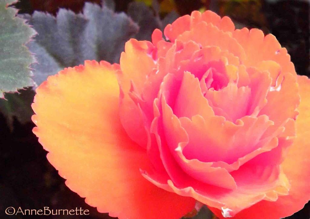 Peach Begonia by sunnygreenwood