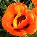 SOOC Poppy by lauriehiggins